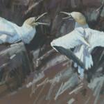 Duel - Gannets