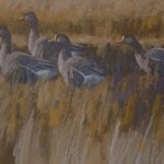 greenland-white-fronted-geese