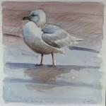 iceland-gull-fraserburgh