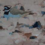 nesting-plover