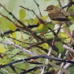 Willow Warbler South Walney